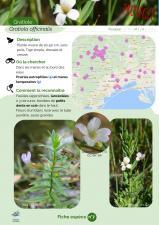 image 7_Gratiola_officinalis1.jpg (0.2MB)